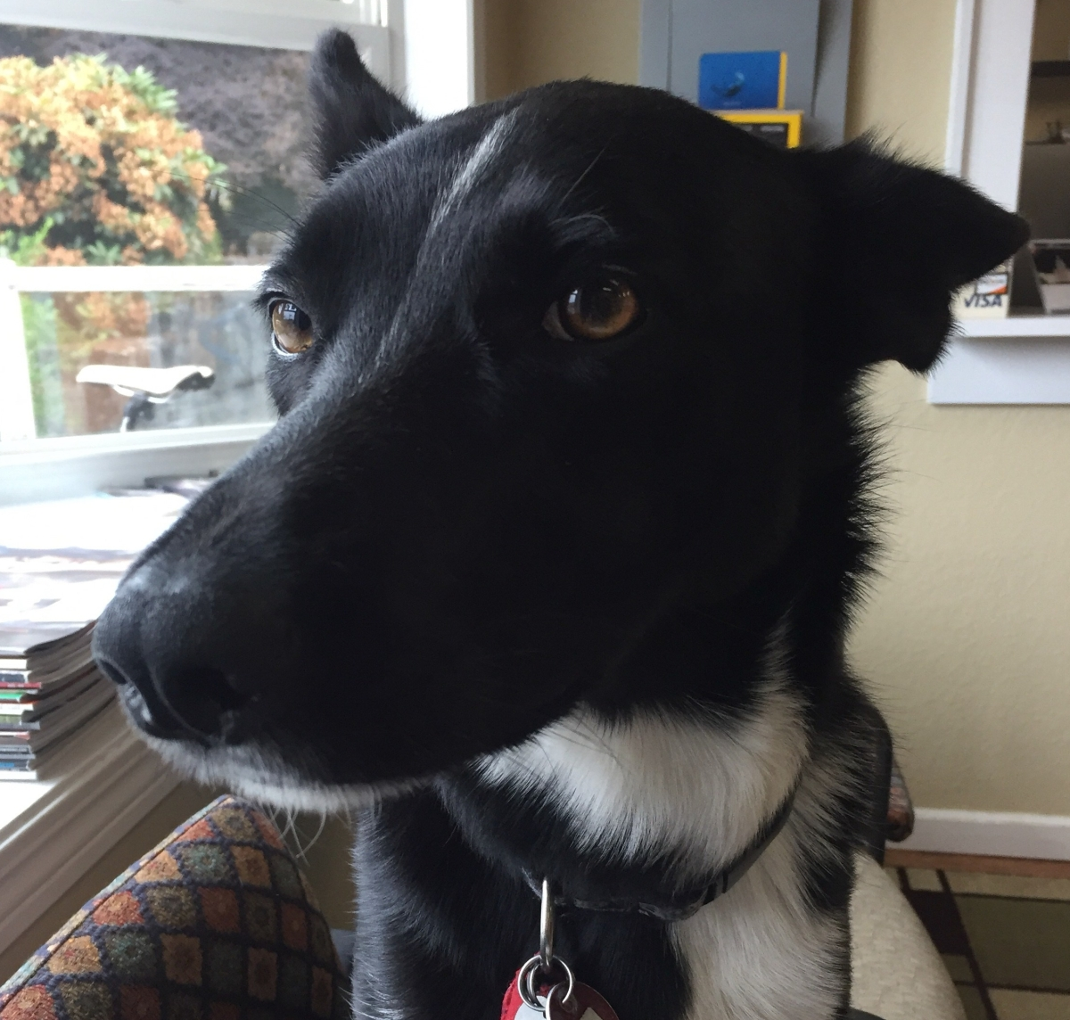 Black and white dog with brown eyes